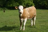 Hereford. Hereford cow. cattle. beef cattle breed from Herefordshire, England — Stock Photo