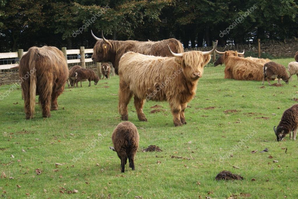 Mucca di bovini highland con le pecore in una fattoria for Piani di fattoria con foto