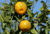 Tangerines growing on a branch — Stock Photo
