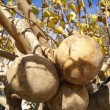 Gourds growing on a calabash tree — Stock Photo #61877137