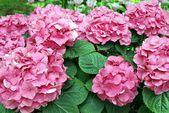 Pink Geranium flower — Stock Photo