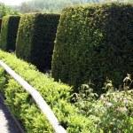 Yew topiary trees — Stock Photo #64780771