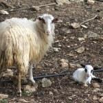 Ewe with a newborn lamb — Stock Photo #66739075