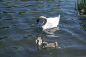 White swan with cygnets. Swan and chicks — Stock Photo