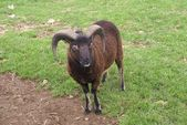 Ram in un campo — Foto Stock
