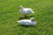 Couple of white ducks — Zdjęcie stockowe