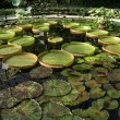 Water lilies in a greenhouse,  Royal Botanic Gardens, Kew, London, England — Stock Photo #68935797