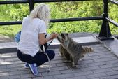 Raccoon and a woman — Stock Photo