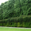 Yew topiary sculptured hedge — Stock Photo #76281179