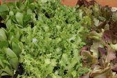 Würziger Salat — Stockfoto