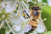 Photo Bee — Stock Photo