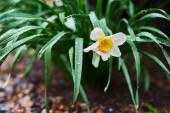 Narcis flower — Stock Photo