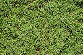 Spruce conic — Stock Photo