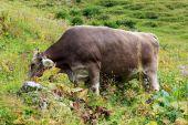 Krów pasienie się — Zdjęcie stockowe