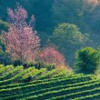 Tea plantation and Cherry blossom — Stock Photo #53955331