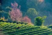 Tea plantation and Cherry blossom — Stock Photo
