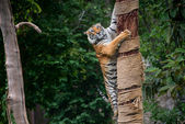 Tiger Climbing Tree — Stock Photo