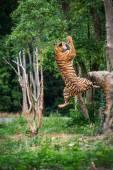 Tygrys skoki — Zdjęcie stockowe