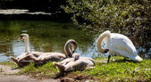 Four swans are chilling near the river — Stock Photo