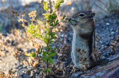 Squirrel eating breakfast in Yellowstone National Park, Wyoming, — Stock Photo