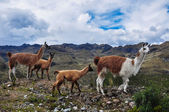 Lamas Family in El Cajas National Park, Ecuador — Stock Photo