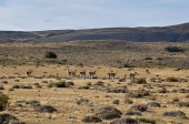 Group of Guanacos near Parque Nacional Torres del Paine, Chile — Stock Photo
