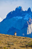 Guanaco in Parque Nacional Torres del Paine, Chile — Stock Photo