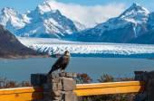 Caracara bird posing in front of Perito Moreno Glacier, Argentin — Stockfoto
