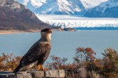 Caracara bird posing in front of Perito Moreno Glacier, Argentin — Foto Stock