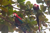 Red parrots birds in the Pantanal, Brazil — Stock Photo