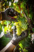 Harvest of white grapes — Stock Photo