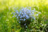 Blooming forget-me-not collected in early summer. — Stock Photo