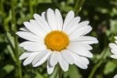 Big Daisy Flower — Stock Photo