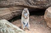 Standing Squirrel — Stock Photo