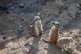 Meerkats staring — Stock Photo