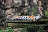 Sleeping tiger — Foto Stock