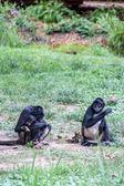 Família macaco — Foto Stock