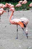 Flamingos — Foto Stock