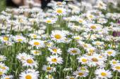 Sea of Daisy — Stock Photo