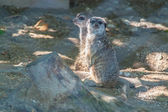 Meerkats on the sun — Foto Stock