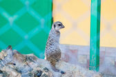 Meerkats on the sun — ストック写真