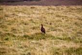 Red Grouse — Stock Photo