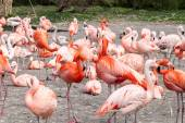 American and Chilean flamingos — Stock Photo