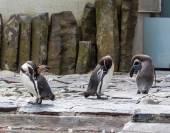 Tre pinguini toelettatura — Foto Stock