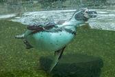 Плавание пингвина — Стоковое фото
