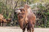 Two humped camel — Stock Photo