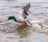 Mallard duck take off — Stock Photo