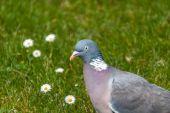 Pigeon portrait — Stock Photo
