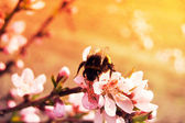 A Bumblebee on a white sakura tree flower — Foto de Stock