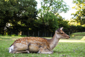 Sika Deers at Nara Park — Stock Photo